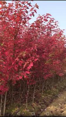 安徽省宣城市宣州区日本红枫