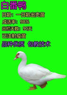 广西壮族自治区南宁市兴宁区番鸭苗