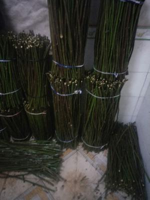 云南省昆明市官渡区多苞蔷薇