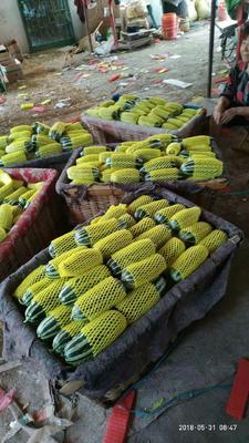 山东省潍坊市奎文区博洋9号甜瓜  0.5斤以上 羊角蜜,冰糖籽,