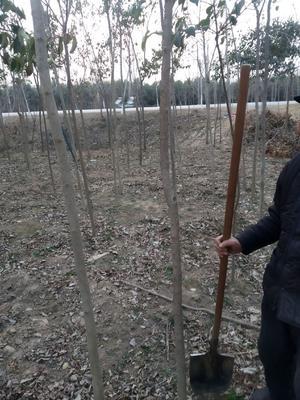 河南省周口市扶沟县老式白蜡 2.5~3米
