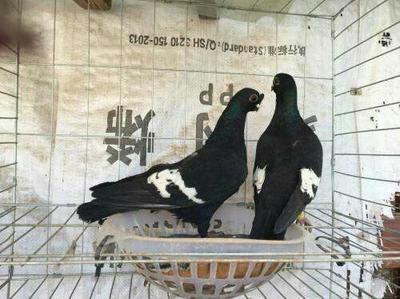 山东省菏泽市巨野县金鱼鸽 400-500克