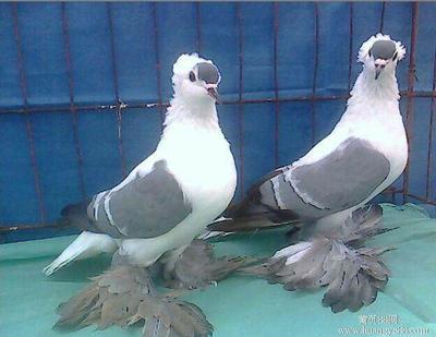 四川省泸州市江阳区黄燕子鸽 400-500克