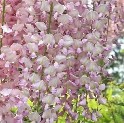 山东省临沂市费县多花紫藤 1.5~2米 1~2公分