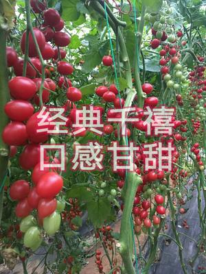 山东省潍坊市寿光市樱桃番茄种子 ≥95% 杂交种 ≥90%