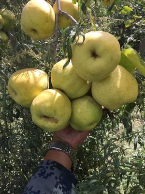 新疆维吾尔自治区阿克苏地区拜城县库尔勒香梨 95mm以上 100-150g