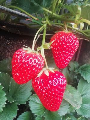 辽宁省丹东市东港市红颜草莓  20克以上 一箱3斤95元包邮