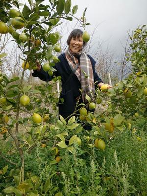 云南省大理白族自治州弥渡县香水柠檬 1.6 - 2两