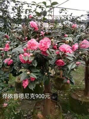 广西壮族自治区桂林市兴安县茶花树 140cm以上