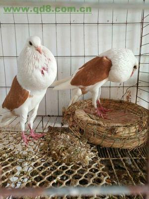 山东省菏泽市巨野县球胸鸽 600-800克