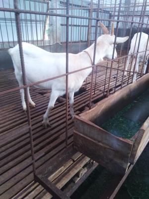 广西壮族自治区玉林市容县奶山羊 50-80斤
