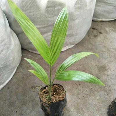 广东省广州市荔湾区造型假槟榔树  假槟榔袋苗