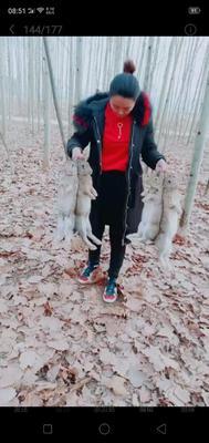 天津津南区比利时兔 5斤以上
