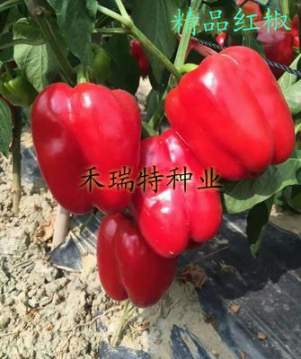 山东省潍坊市寿光市方彩椒 杂交种 ≥90%