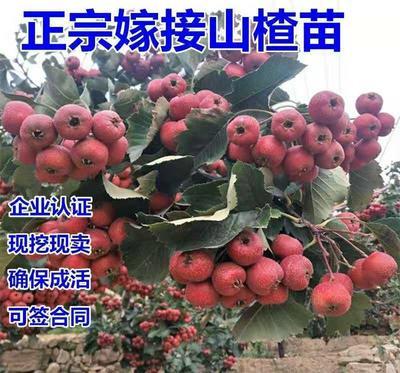 山东省临沂市平邑县甜红子山楂苗