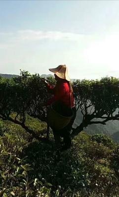 云南省普洱市墨江哈尼族自治县普洱生茶 一级 罐装