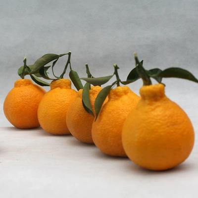 四川不知火丑橘10斤新鲜桔子丑耙耙柑丑八怪保证味道好包邮