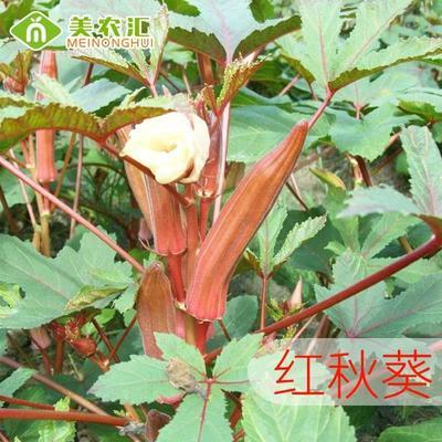 江苏省宿迁市沭阳县红秋葵种子 原种