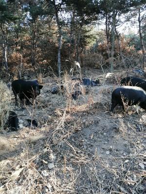 山东省威海市文登区黑猪 20-25斤