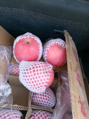 甘肃省平凉市静宁县红富士苹果 70mm以上 片红 纸袋