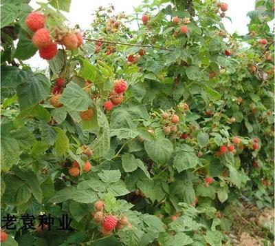江苏省宿迁市沭阳县红树莓种子