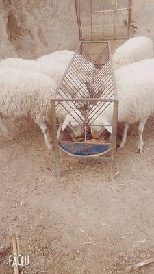 甘肃省庆阳市合水县湖羊 80-110斤