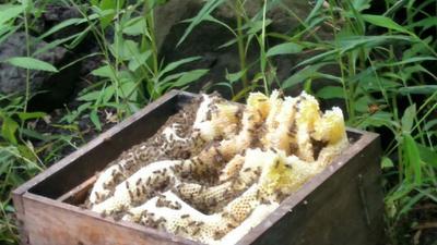 云南省昭通市绥江县土蜂蜜 塑料瓶装 2年 80%以上