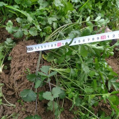 贵州省遵义市红花岗区大叶香菜 20~25cm