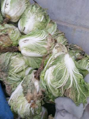 山东省青岛市平度市秋白菜 6~10斤 净菜