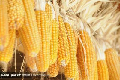 山西省忻州市定襄县玉米湿粮 杂质很少 水份17%-20%