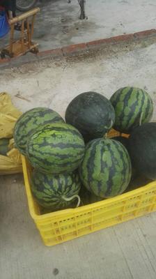 广东省阳江市阳西县甜王西瓜 8斤打底 8成熟 1茬 有籽