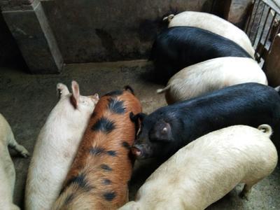 重庆南川区杜洛克猪 300斤以上