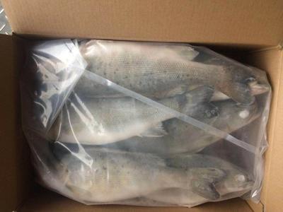 广东省湛江市霞山区海鲈鱼 人工养殖 1.5-2.5公斤