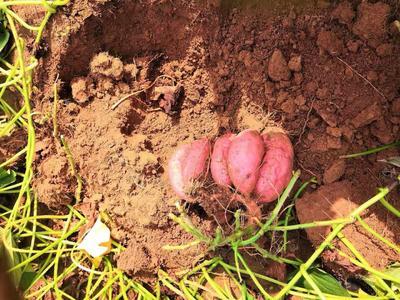 河北省石家庄市桥西区烟薯25 6两~1斤 红皮
