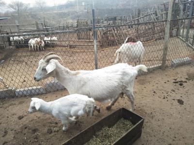 山东省烟台市栖霞市波尔山羊 80-110斤