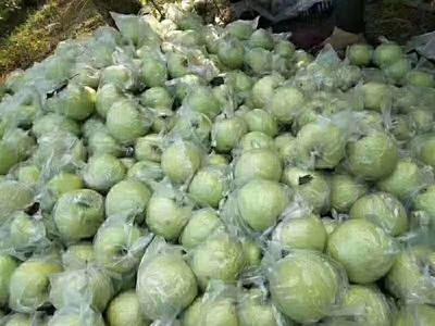 河北省石家庄市晋州市王林苹果 70mm以上 翠绿 膜袋