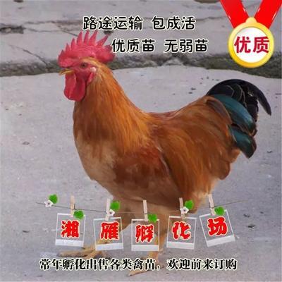 湖南省衡阳市蒸湘区灵山土鸡 灵山麻鸡苗麻鸡苗活体