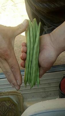 云南省玉溪市通海县白花四季豆 15cm以上