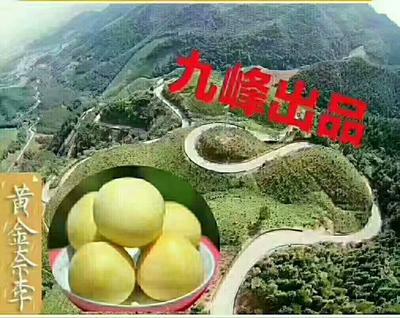 广东省韶关市乐昌市黄金李 10 - 15mm