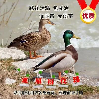 湖南省衡阳市蒸湘区绿头野鸭苗