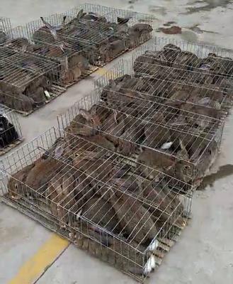 甘肃省平凉市华亭县野兔 3-5斤