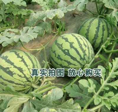 广东省阳江市阳西县甜王西瓜 6斤打底 9成熟 1茬 有籽