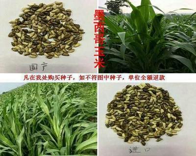 辽宁省沈阳市大东区墨西哥玉米草种子