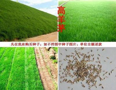 这是一张关于高羊茅种子 的产品图片