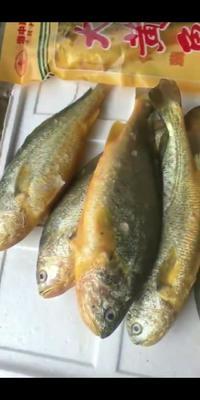 上海浦东新区小黄鱼 野生 0.5公斤以下