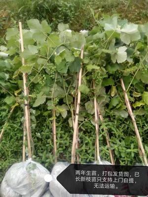 这是一张关于雨水红苗 的产品图片