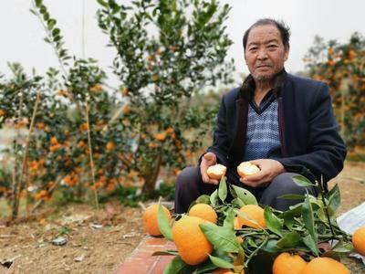 四川省雅安市汉源县汉源晚熟黄果柑 5 - 5.5cm 1.5 - 2两