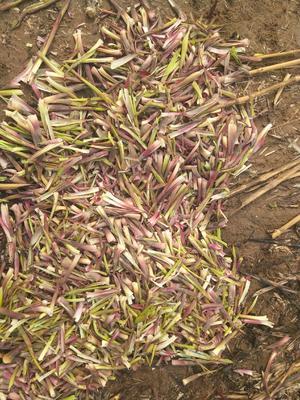 这是一张关于芦苇笋 的产品图片
