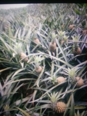 云南省红河哈尼族彝族自治州河口瑶族自治县河口菠萝 1 - 1.5斤
