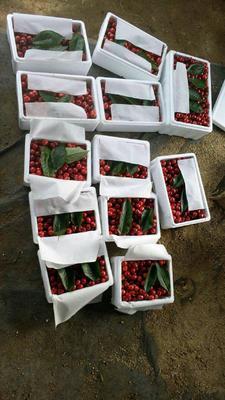 山东省烟台市莱州市美早樱桃  30mm以上 12-15g 烟台大樱桃预售